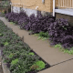 Bugleweed can thrive in rocky soil as well and can work great as ground cover.