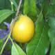 Abiu fruit on the tree