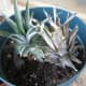 Put your pineapple top into a container with soil in it.  Pat the soil down and water your pineapple plant.  This top was put next to a pineapple that has been in the pot for a couple of months.