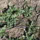 This is a young patch of milk thistle near the end of January. Don't forget to click to enlarge it.