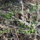 Under the remains of last year's dead plant, a young forest of milk thistle seedlings emerges after the rain. Taken November 13.