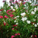 Oleander bushes of different colors can be pretty planted next to one another.