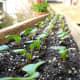 French Breakfast radish seedlings. ~1 week old.