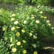 I like roses beside the back fence.
