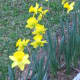 A few simple blooms bring me joy. These bulbs bloomed during January after a spate of warm days.