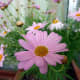 types-of-daisies