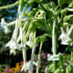 Nicotiana sylvestris is the largest species of flowering tobacco, reaching heights of up to 5 feet tall.