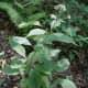 Flowering nettle.