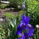 Blue irises.