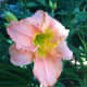 Pale pink daylily with a greenish yellow throat