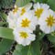 A white primula