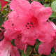 A shade of pink is the most common color of rhododendrons where I live.