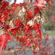 The Amur maple leaves on this tree are turning a deep red in autumn.