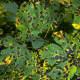 Tar spot on maple leaves
