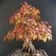 Amur maple as bonsai