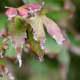 Acer leaf scorch