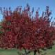 Embers Amur maple