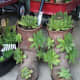 Rather than throw out old boots, recycle them as succulent planters!