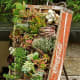 This old Coca-Cola crate has a useful second life as a miniature succulent garden.