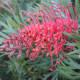 """Grevellia """"molly""""- spider flower- an Australian beauty"""