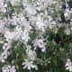 The Native Woodland Phlox Flower
