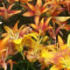The Bright Asiatic Lily Perennial Flower