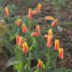 Tulipa kaufmanniana 'Giuseppe Verdi'
