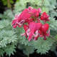 bleeding-hearts-gorgeous-and-easy-to-start-from-stem-cuttings-or-seeds