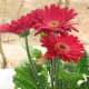 Gerber daisies are a great option for the office if you are looking for a flowering plant.