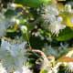 Surinam cherry blossoms.