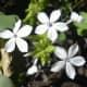 Plumbago zeylanica (flowers).