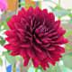 Hollyhill black widow dahlia