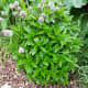 Peppermint is a great biomass crop because it can double as insect repellant wherever it is used.