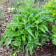 One week after harvest, this comfrey is coming back strong.