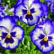 "This trailing pansy has large purple and white blooms and an angel-looking ""face""."