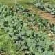 growing-broccoli-in-ohio