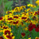 Golden tickseed is known by several other common names, including plains coreopsis, garden coreopsis, or calliopsis.