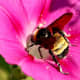 Bumblebees are expert pollinators and they love morning glories.