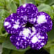 This variety is called Petunia Blue Sky.  It has gorgeous blue-purple petals with white spots.