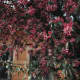 Pink Nerium Oleander
