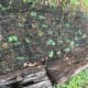 I protect my bush beans with cheap fencing lying over the top. With larger growing plants, I tent the fencing over top, giving the plants space to grow so I can remove the fencing once the plants are big enough to deter digging by cats.