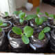 5. These were planted before rounding off the tops of the containers.