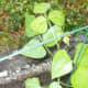 Black lima bean plant emerging