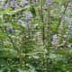 Blue Salvia on the Borriecci property