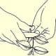 3. Prepare cuttings by trimming off stem just below a leaf.
