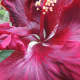 """Tropical hibiscus """"Black Magic"""" from Dupont Nursery is an award-winner."""