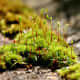 This attractive moss grows only in extreme cold. It is native to the Arctic region.