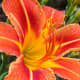 photo-gallery-of-beautiful-daylilies-in-the-garden