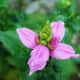 tips-for-growing-turtlehead