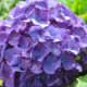 Purple hydrangea flower cluster